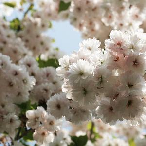 Sakura / Cherry blossom
