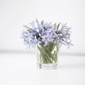 wild Hyacinth